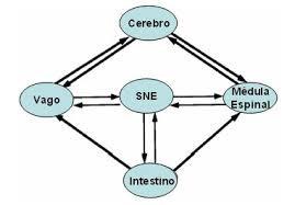 sistema-nervioso-enterico
